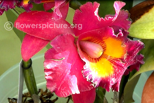 Cattleya red orchid