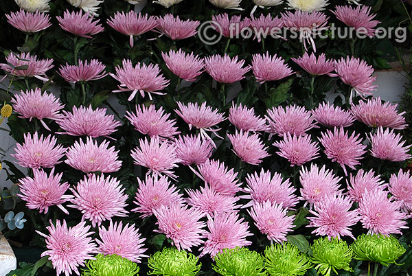 Pink spider chrysanthemum