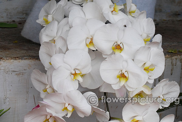White phalaenopsis orchid ooty flower show