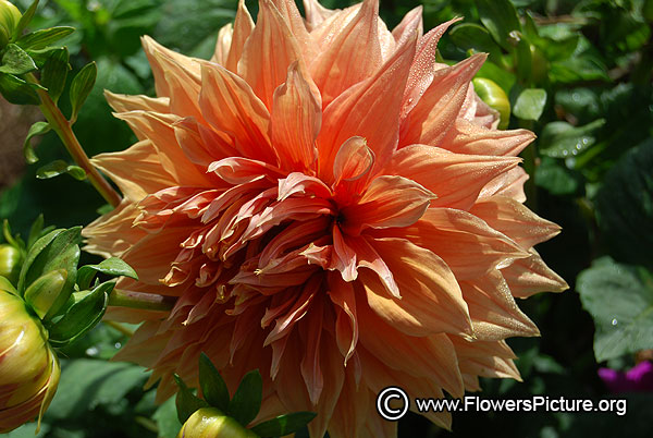 ooty-flower-show-2016-photos/thumbnail/amaran-guard-dahlia.jpg