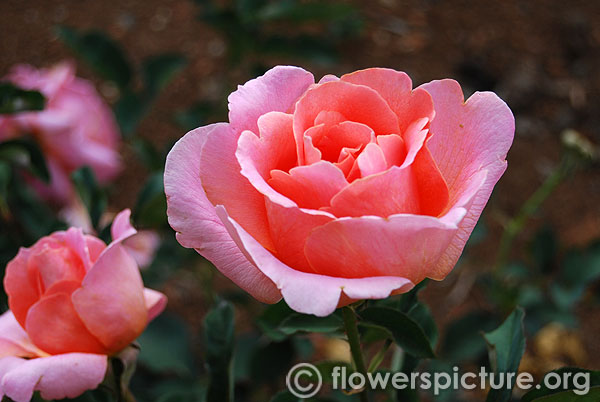 Apricot pink rose