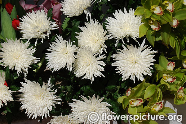 White spider chrysanthemum flower