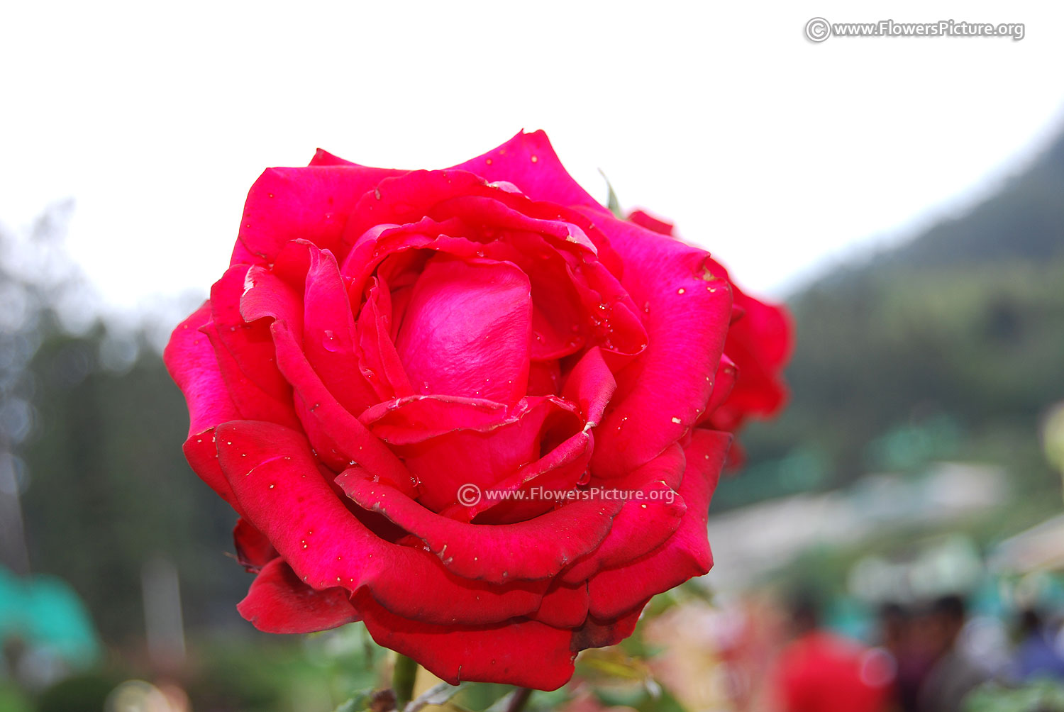 ooty flower show 2017 pictures gallery-2