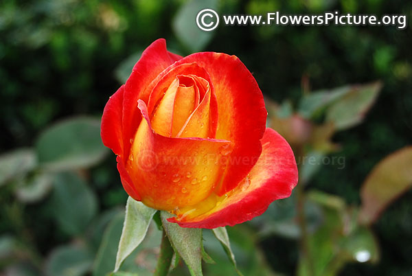 Red and orange rose bud