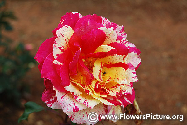 Yellow & red striped rose