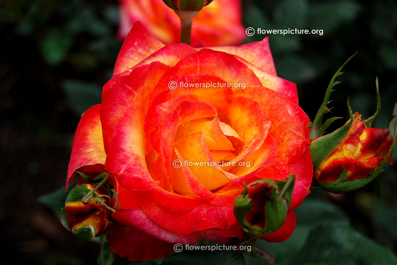Bicolour Yellow Red Rose