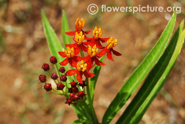 Asclepias curassavica-tropical milkweed