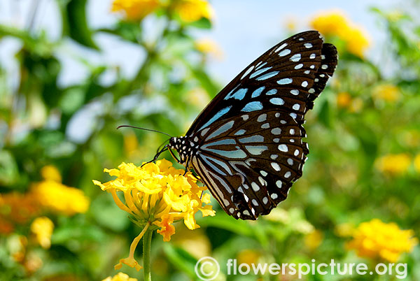 Ideopsis vulgaris on yellow lantana