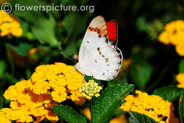Orange tip butterfly on yellow lantana