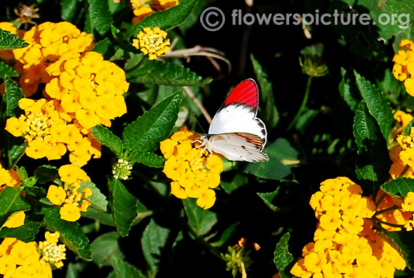 The orange tip butterfly-On yellow lantana flower
