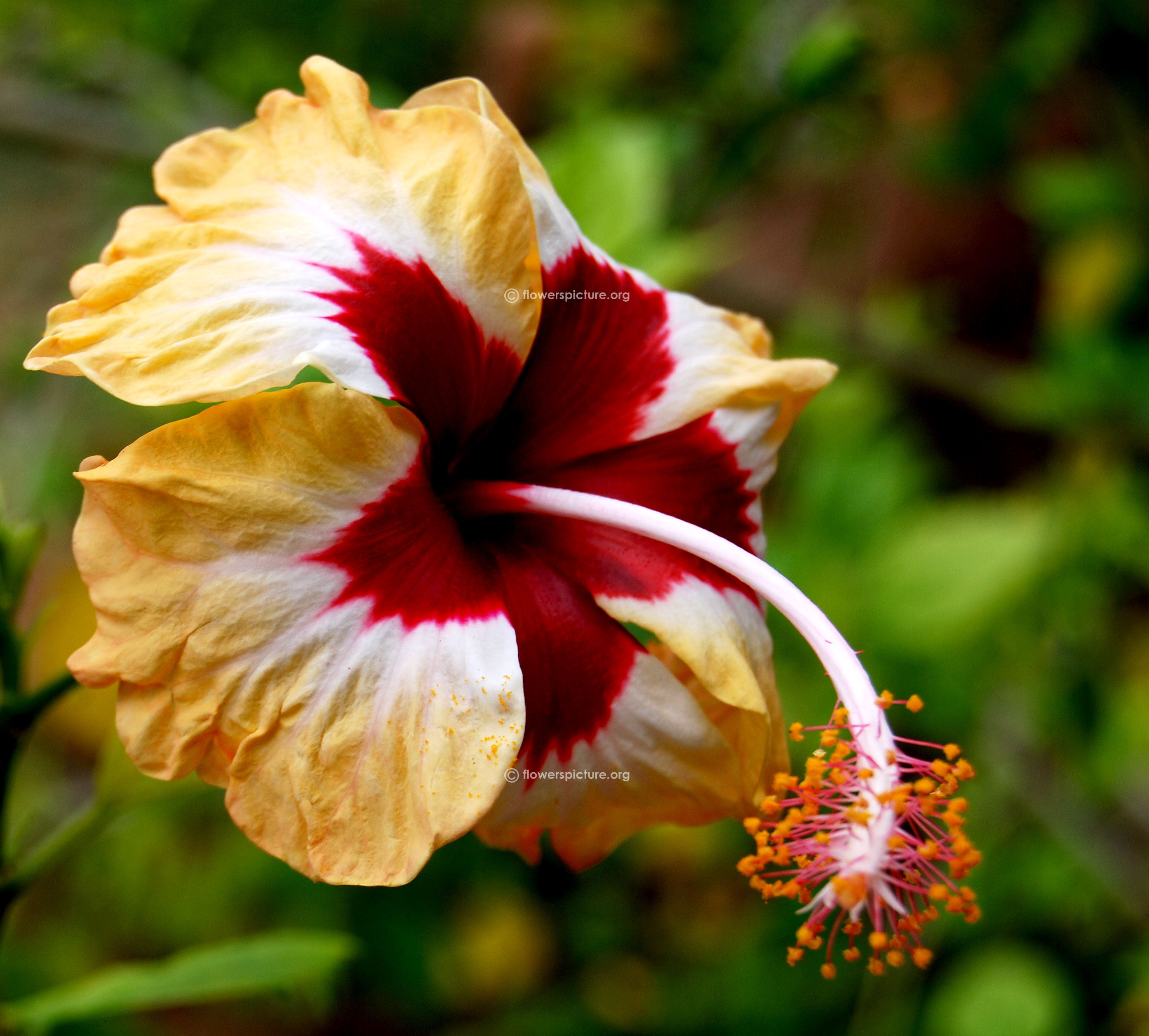 Hibiscus flower varieties hibiscus hybrid peach red white izmirmasajfo Image collections