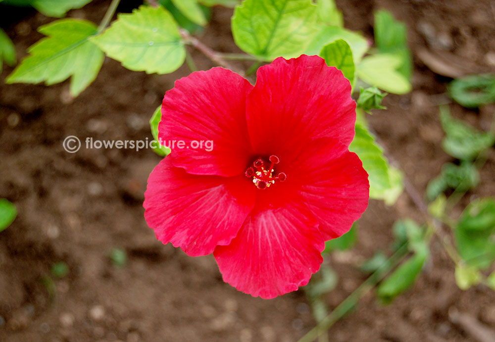 Hibiscus Flower Varieties