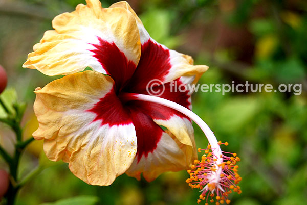 Hibiscus hybrid peach red white