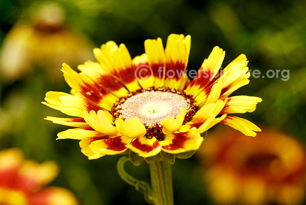 Annual Chrysanthemum Yellow