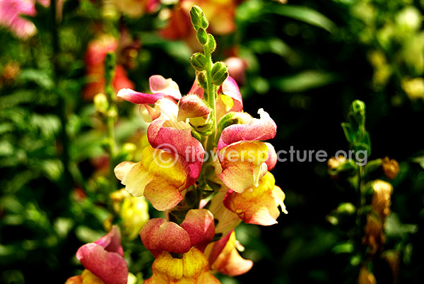 Antirrhinum Snap Dragon pink with Yellow