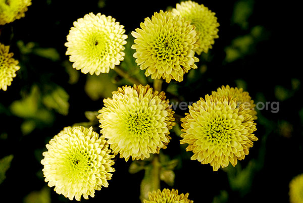 Chrysanthemum Green White Mixed