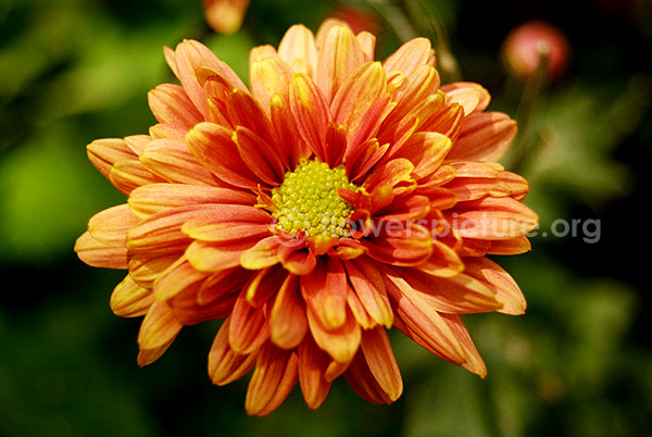 Chrysanthemum orange yellow