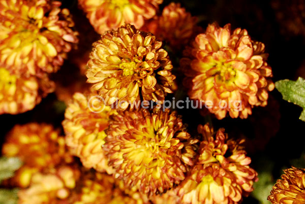Chrysanthemum Gold