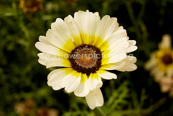 Chrysanthemum white Yellow