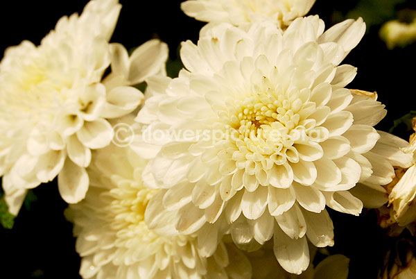 Chrysanthemum White single