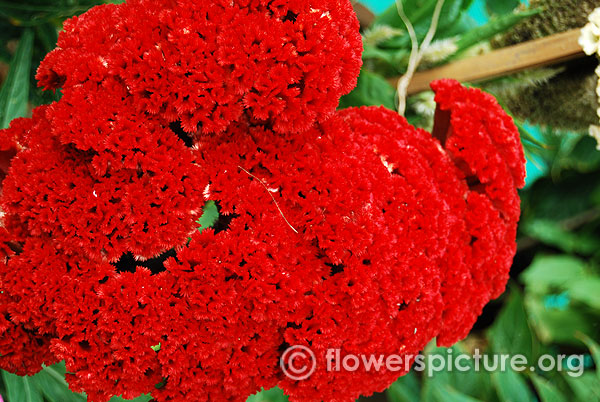 Red and black flowers red flower pictures and names common name cockscomb orange mightylinksfo