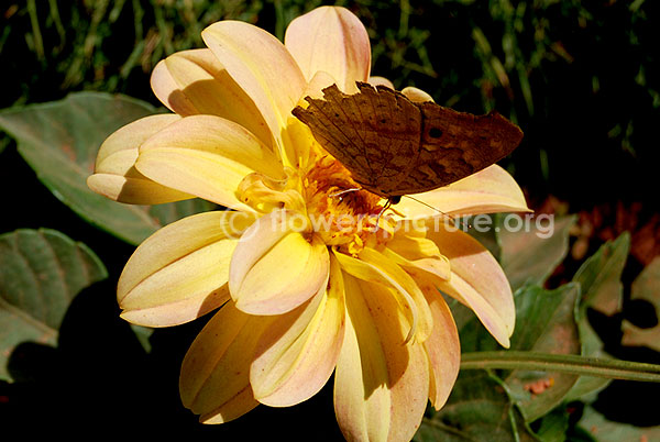 Dahlia orange beige yellow