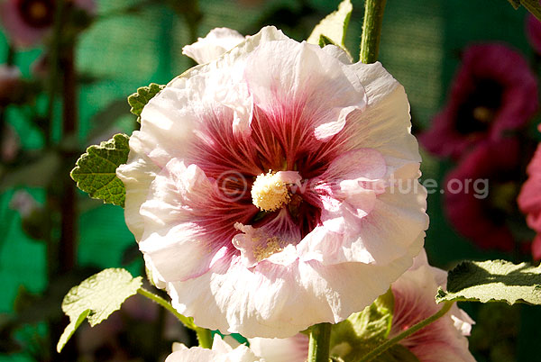 hollyhock white