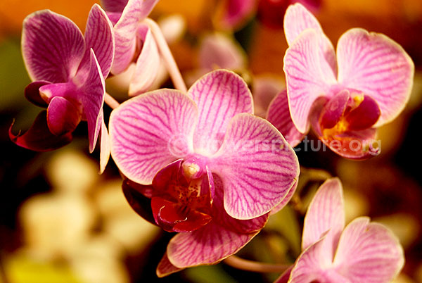 orchid pink hybrid