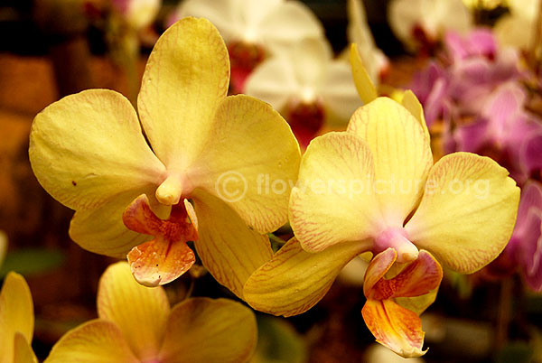 orchid yellowwithpink