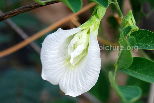 White clitoria flower