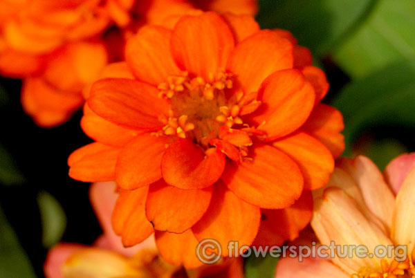 Profusion double fire zinnia