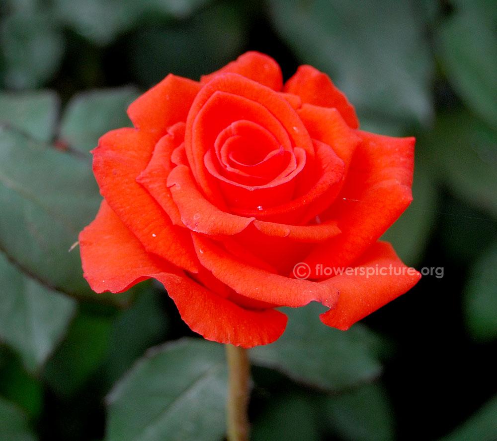 красим картинки розы от саши скоплении